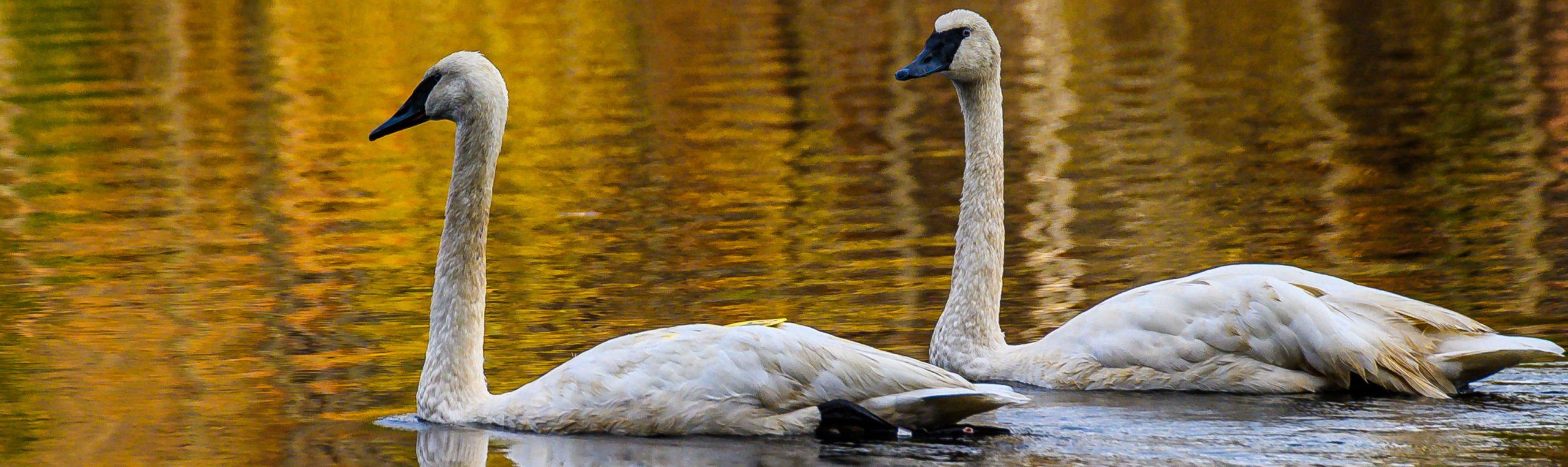 Trumpeter Swans in Muskoka